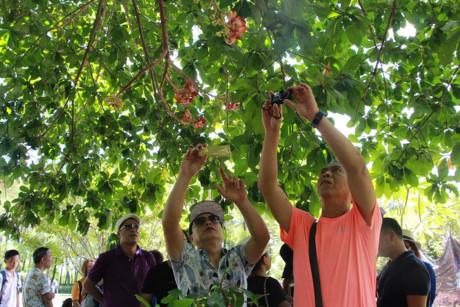 Nhiều du khách đi ngang qua cây Sala đều dừng chân chiêm ngưỡng, dùng điện thoại, máy ảnh chụp lại để làm kỷ niệm và khoe với bạn bè.