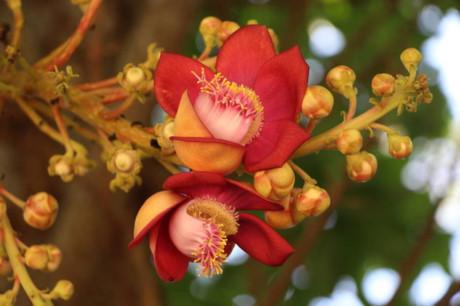 Các cánh hoa có màu đỏ trông rất bắt mắt. Hoa có mùi thơm, mọc từng chùm từ thân cây ra.