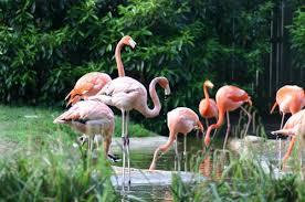 Thảo Cầm Viên Sài Gòn tròn 150 tuổi Thảo Cầm Viên như một vườn thú mở. Nhiều loài động vật được sinh sống trong những không gian tự nhiên. Trong ảnh: Loài chim hồng hạc sống thành đàn trong khu vực không cần hàng rào.