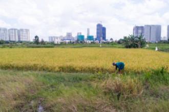"""Cách trung tâm thành phố qua bờ sông Sài Gòn, tại bán đảo Thanh Đa (phường 28, quận Bình Thạnh, TP HCM) vẫn còn những cánh đồng rộng. Khu vực này hiện thuộc dự án khu đô thị Bình Quới - Thanh Đa nhưng đã bị """"treo"""" 25 năm. Vì thế nên người dân tận dụng đất trống để trồng lúa."""