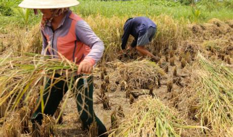 Những ngày đầu tháng chín, lúa chín vàng. Tại cánh đồng của bà Huỳnh Thị Được (52 tuổi), suốt một tuần lễ nay, hai vợ chồng bà đi từ sáng sớm gặt lúa cho khỏi nắng.