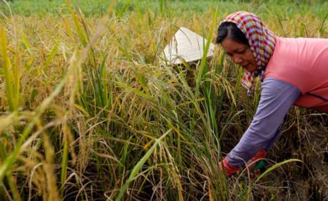 """""""Nhà tôi có ba công ruộng. Đất ở đây trước kia khá tốt có thể trồng ít nhất hai vụ trong năm. Nhưng từ khi dính quy hoạch thì hoang hóa nên ít người cày bừa trồng lúa. Hai vợ chồng giờ cố gắng mỗi năm trồng hai vụ, chủ yếu để nhà có gạo ăn"""", bà Được chia sẻ."""