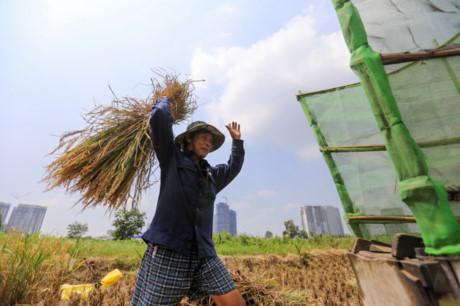 Do trồng ít nên nhà bà Được không đầu tư máy gặt đập, máy tuốc... Việc gặt lúa đều làm thủ công.
