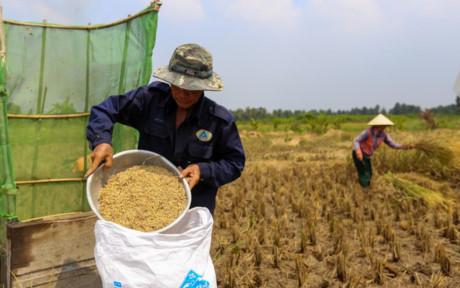 Mỗi đợt lúa chín, hai vợ chồng ông mất khoảng một tuần để gặt hết ba công ruộng, thu về được gần một tấn thóc.