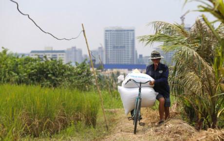 """Mỗi ngày, hai vợ chồng làm từ sáng đến chiều, thành quả là hai bao thóc. """"Càng gặt nhanh càng tốt để tránh trời mưa. Ngoài ra khi lúa chín, chỉ một ngày không gặt là chim ăn nhiều lắm """", nông dân 54 tuổi nói."""