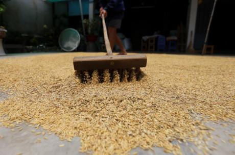 Số thóc nhà ông Phước sau khi được phơi khô, ngoài để gia đình ăn thì chủ yếu bán cho người dân trong khu vực với giá chưa đến 10.000 đồng một ký. Sau khi thu hoạch xong, hai vợ chồng dự tính tiếp tục gieo thêm đợt nữa và gặt vào dịp Tết.