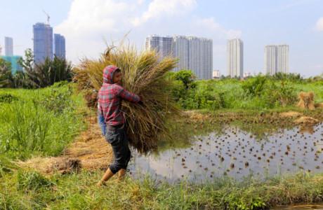 Ở những cánh đồng khác, việc thu hoạch đã xong hết từ cuối tháng tám. Những bó rơm được người nông dân gom lại và phơi khô ngay trên bờ ruộng.