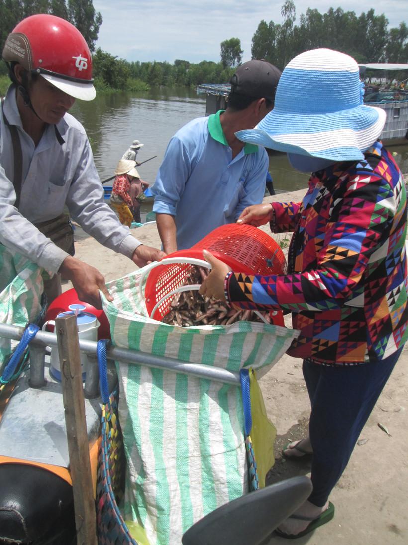 Các lái cá cho cá vào bao ướp muối, đá chở đi