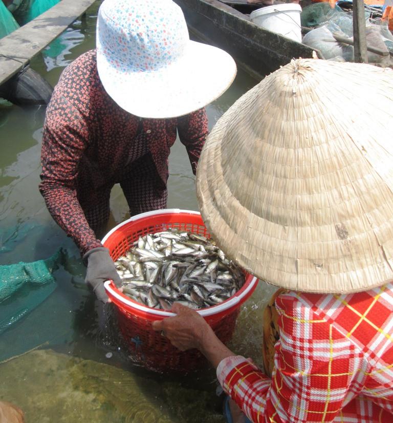 Cân mua cá linh diễn ra nhanh chóng