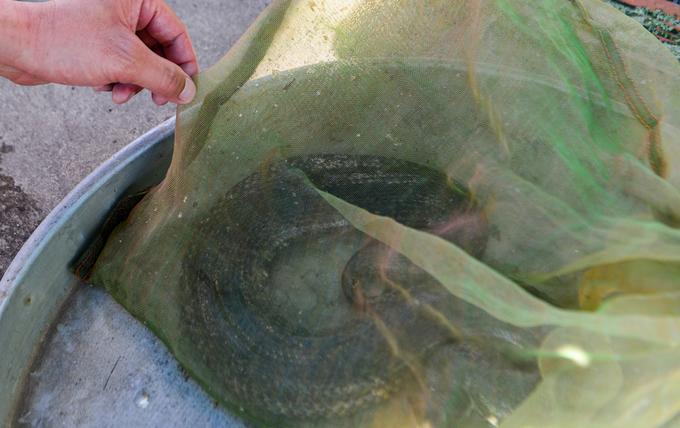 Khách hàng thoải mái lựa chọn, nếu không sợ thì có thể tự tay bắt những con rắn ưng ý nhất. Loài này được bán với giá khoảng vài trăm nghìn một ký tùy theo chủng loại.