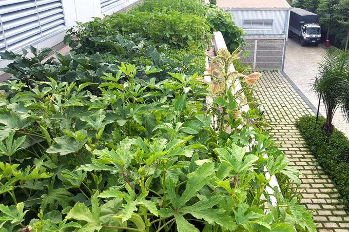 Trên mái công trình trồng rau sạch để hỗ trợ một phần cho bữa ăn của công nhân.