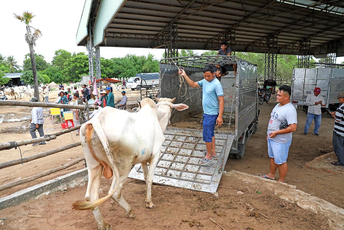 Sau khi chọn mua xong, những con bò được thương lái người Việt đưa lên xe chở về - Ảnh: HỮU KHOA
