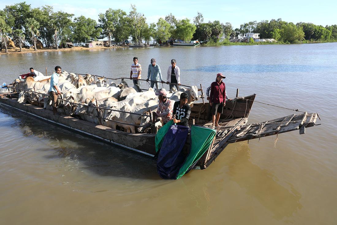 Chiếc ghe chở bò từ Campuchia sang Việt Nam qua đường biên giới trên kênh Vĩnh Tế (kênh tiếp giáp giữa hai nước) - Ảnh: HỮU KHOA