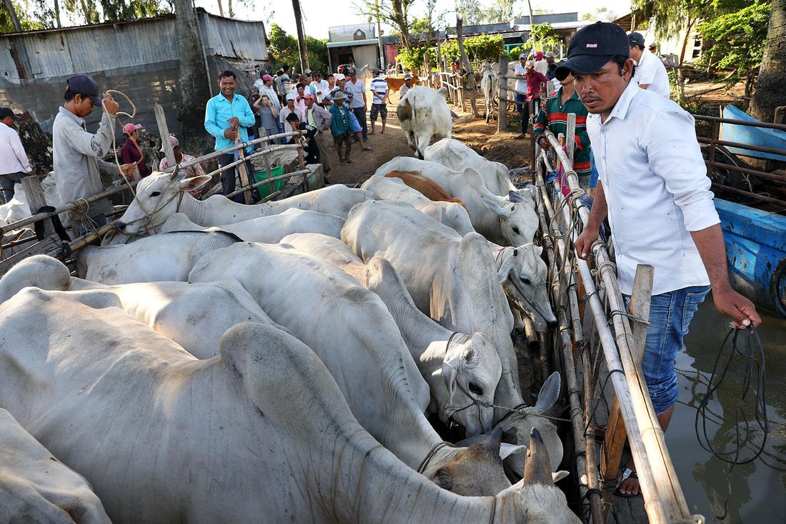 Khách lên ghe để chọn mua những con bò ưng ý nhất - Ảnh: HỮU KHOA