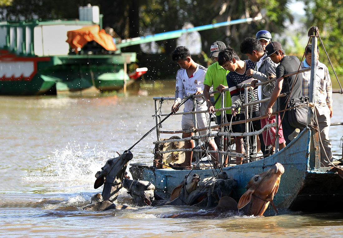 Thương lái Campuchia đưa bò bơi qua kênh Vĩnh Tế (kênh tiếp giáp giữa Việt Nam và Campuchia) sang chợ bò tại Việt Nam để bán - Ảnh: HỮU KHOA