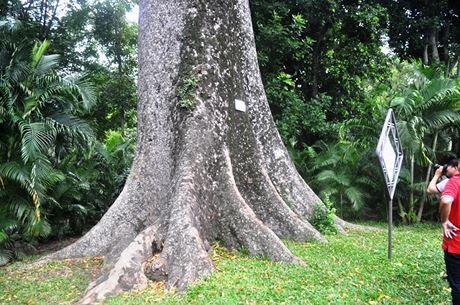 Phần gốc của cây phải 4-5 người vòng tay ôm mới hết