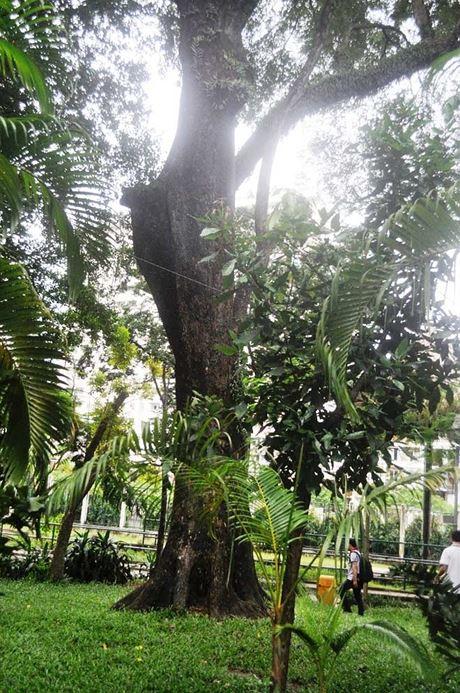 Trong Thảo Cầm Viên tồn tại cây giáng hương có tuổi đời hàng trăm năm.