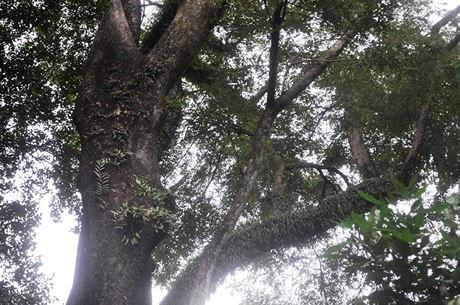 """""""Cây này cũng được xem là cây còn sót lại của rừng nguyên sinh xưa. Nó thuộc loại cây quý hiếm và có ý nghĩa lịch sử rất lớn. Có tiền tỷ cũng không mua được cây này"""", nhân viên đội cây xanh Thảo Cầm Viên nói."""