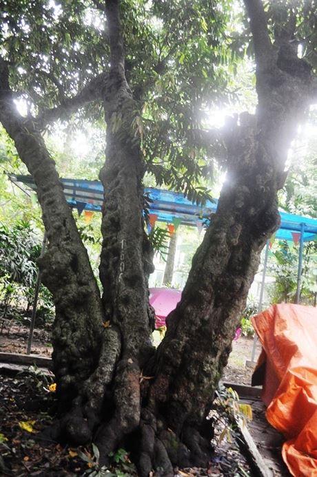 Cây thị trong Thảo Cầm Viên Sài Gòn có thể được xem là cây thị cổ nhất thành phố, hơn 160 năm tuổi.