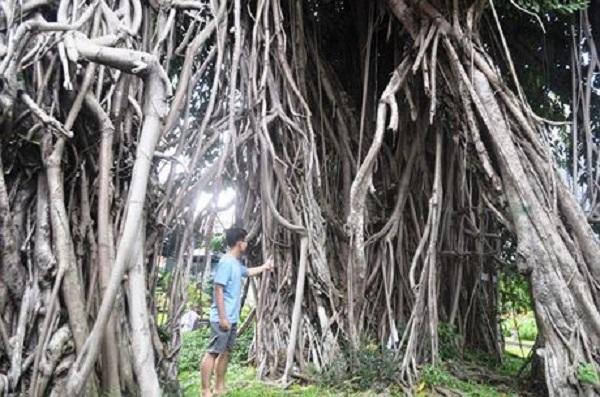 Trải qua 300 năm lịch sử, TP.HCM vẫn còn lưu giữ những cây cổ thụ hàng trăm tuổi, bằng chứng sống cho một vùng rừng nguyên sinh xưa.