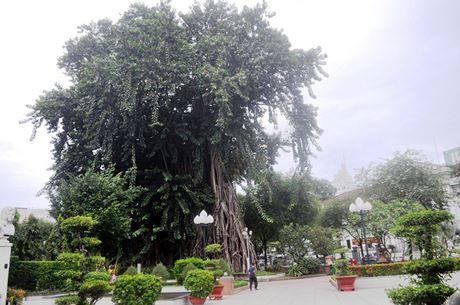 Cây đa cổ thụ trên đường Lý Tự Trọng (trước Bảo tàng TP.HCM) được xem là cây nhiều tuổi nhất ở Sài Gòn và được coi như một biểu tượng xanh của thành phố.
