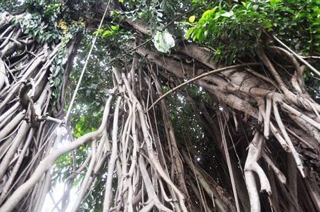 Cây đa này hơn 300 tuổi. Qua hàng trăm năm, cây vẫn xanh tươi, phát triển. Rễ cây lan rộng đâm khắp nơi xuống mặt đất giúp cây đứng vững.