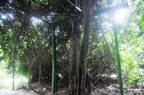 """Cây này có giá trị ý nghĩa lịch sử, khẳng định nguồn gốc hình thành của vùng đất Sài Gòn xưa nên được anh em ở đây chăm sóc rất kỹ và xem như """"cây thần"""". Cây này không ai được phép chặt đốn hay có hành động phá hoại nào"""", nhân viên Đội cây xanh Thảo Cầm Viên cho biết. Nhân viên chăm sóc cũng làm hệ thống dàn sắt để cây dây gùi bò"""