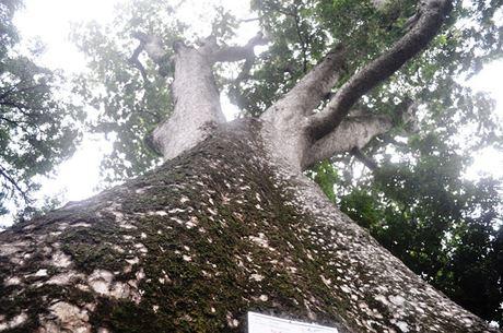 Cũng tại Thảo Cầm Viên cây sọ khỉ cao hơn 40m, đường kính thân cách gốc (1,3m) là gần 4m. Theo nhân viên chăm sóc cây xanh, cây sọ khỉ này đã 152 tuổi và là cây sọ khỉ được nhập trồng đầu tiên ở Việt Nam.