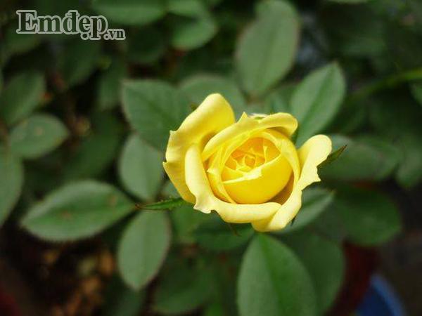 Hoa hồng vàng.