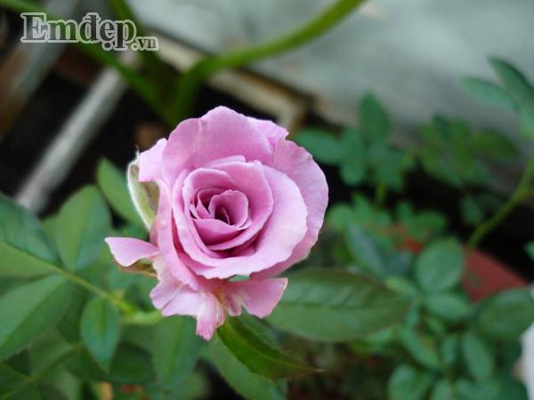 Những bông hồng xinh xắn, hút mắt,