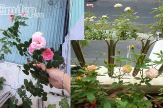 Góc nhỏ vườn hồng của chị Thu Thủy.