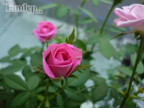 Hồng spray rose (hồng nội).