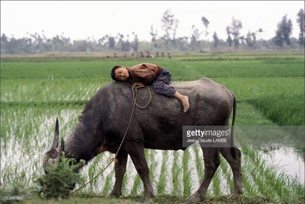 Một cậu bé ngủ quên trên lưng trâu ở cánh đồng ngoại thành.