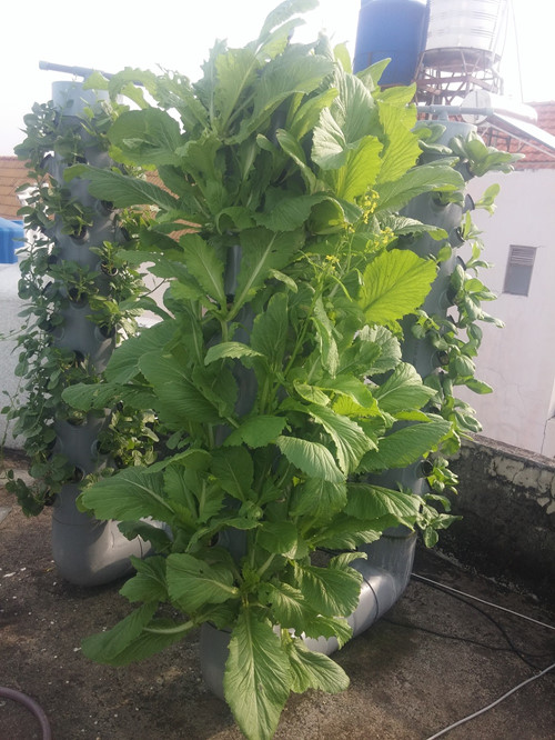Các loại củ anh Sơn trồng cũng phát triển rất tốt