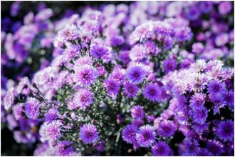 Cận cảnh vườn hoa Thạch Thảo
