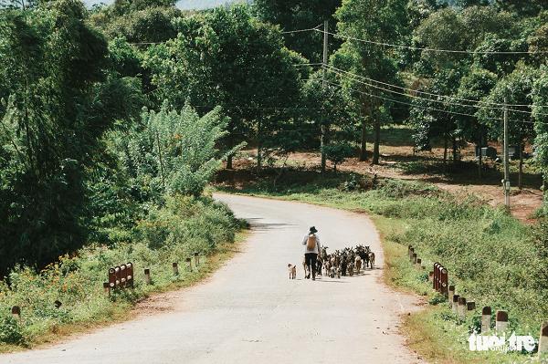 Người chăn dê giữa hai bên đường đầy hoa dã quỳ