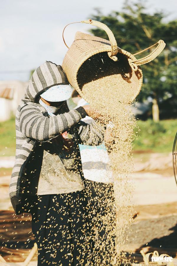 Mùa hoa nở cũng là lúc thu hoạch lúa