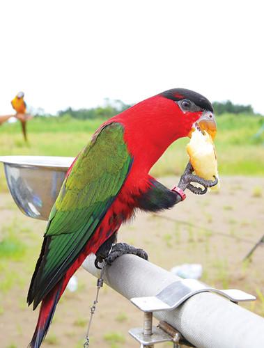Những chú vẹt cũng có một chế độ ăn đặc biệt. Ảnh: Thesaigontimes.