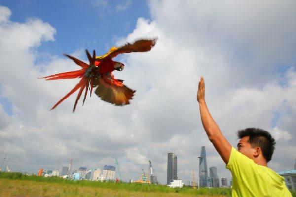 Những con vẹt Nam Mỹ còn được chủ nhân đưa đi tập bay tại các bãi đất trống ở Sài Gòn. Ảnh: Thesaigontimes.