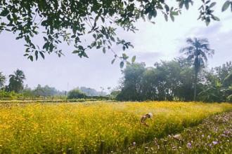 Chỉ còn 1 tháng nữa là đến Tết Nguyên đán Mậu Tuất 2018. Tại các cánh đồng hoa ở ngoại ô TP.HCM, nông dân đang tất bật với công việc chăm sóc hoa Tết.