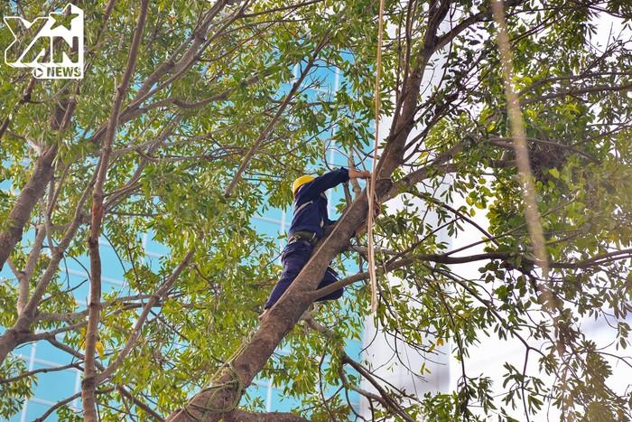 Các công nhân dùng dây buộc cẩn thận những cành cây trước khi chặt nhằm giữ an toàn cho người đi đường.