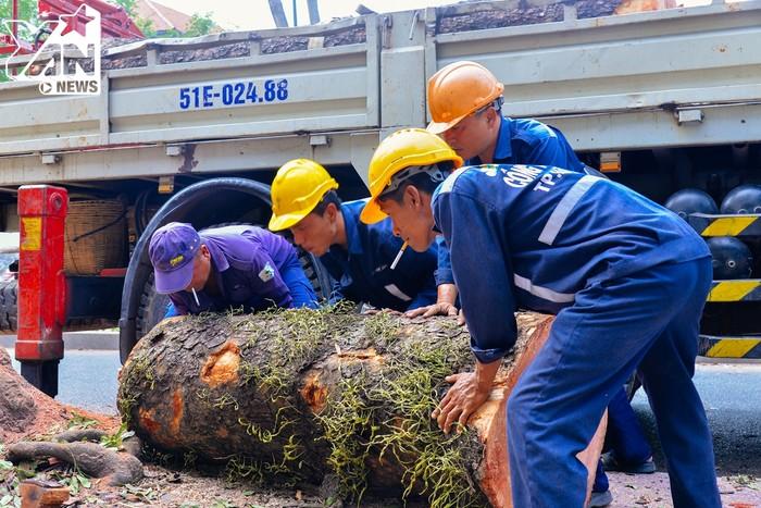 Những nhánh cây rất lớn mà phải mất tới 4 công nhân mới có thể di chuyển được.