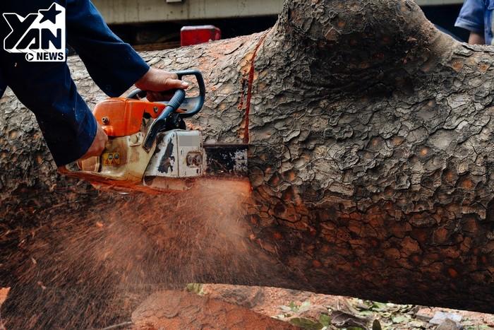 Đa phần những cây trên đường Tôn Đức Thắng là cây sọ khỉ, lim sét và vài loại cây khác. Những khúc gỗ này sẽ được bán đấu giá để phục vụ cho việc điêu khắc hay chế tác bàn ghế.