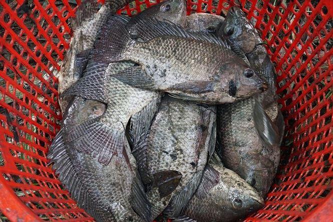 """""""Cá này nuôi tự nhiên nên thịt săn chắc, ăn ngon hơn cá nuôi bán ngoài chợ nên thương lái rất chuộng"""", bà Bé nói."""