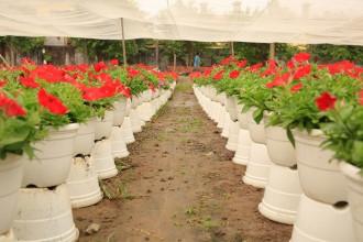 Tuy thời tiết đến thời điểm này thuận lợi nhưng nhiều hộ dân trồng hoa tết vẫn lo lắng, vì thế nhiều chậu hoa được đưa lên cao hơn để tránh ngập nước nếu lỡ trời mưa bất chợt.