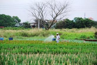 Những ngày này, đi dạo các ruộng hoa trên địa bàn TP.HCM, không khí lao động rất khẩn trương, nông dân đang tỉ mỉ chăm sóc, cắt tỉa, bón phân, tưới nước cho hoa chờ ngày thu hoạch.