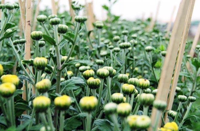 Một vài chậu cúc phát triển nhanh và nụ đã bung sớm. Đối với những cây nụ to, các hộ dân hạn chế bón phân tưới nước để hạn chế sự phát triển của hoa.
