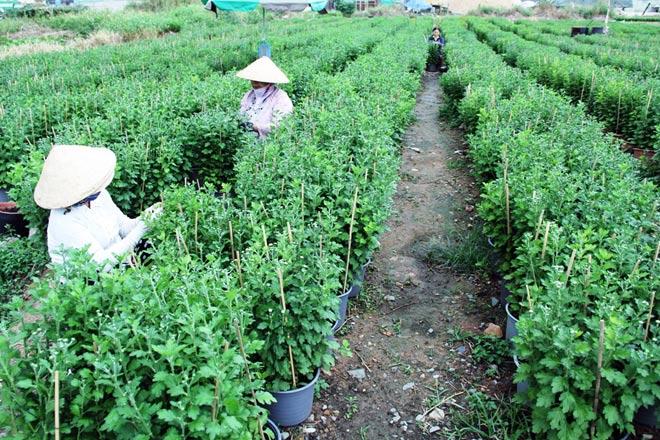 Từ lúc mờ sáng, tại các ruộng hoa trên đường Lê Thị Riêng (quận 12) đã có hơn chục người tưới nước, bón phân, tỉa cành cho hoa.