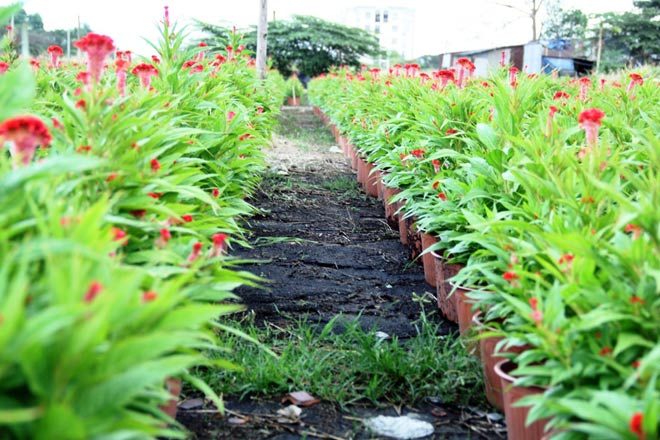 Hoa mào gà đỏ rực cả ruộng.