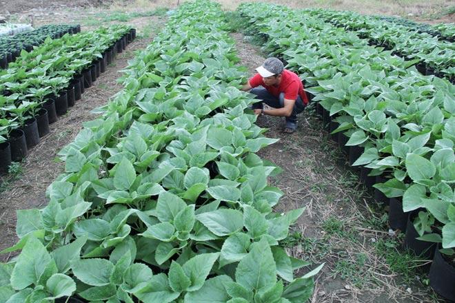"""Nông dân đang bón phân cho cây hoa hướng dương. """"Thời tiết năm nay ít mưa. Cây phát triển tốt. Thấy vậy cũng mừng nhưng làm nghề này chỉ đến khi cầm tiền trong tay mới chắc ăn"""", anh Phú, một người trồng hoa chia sẻ."""